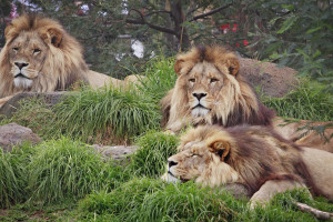 Lion-Wallpaper-the-animal-kingdom-3695548-1600-1067